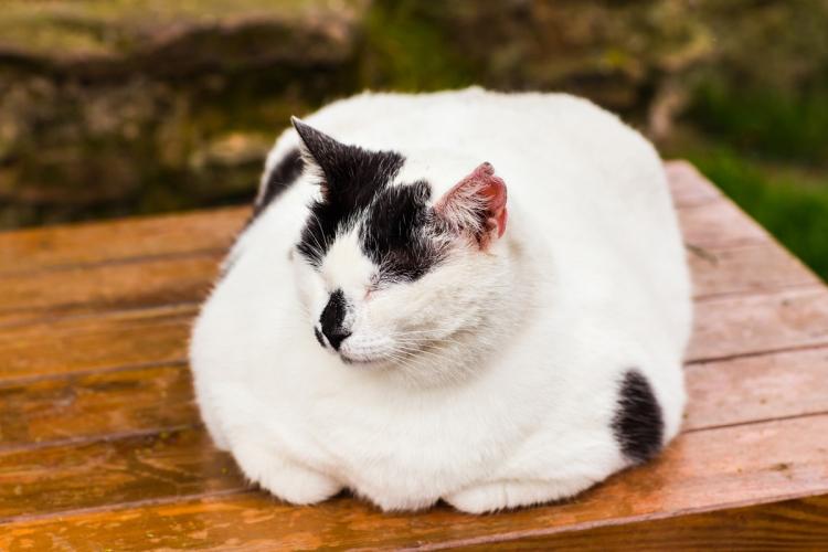 cica fogyni