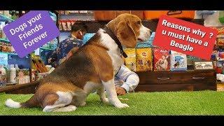 hogyan segíthet egy beagle fogyni