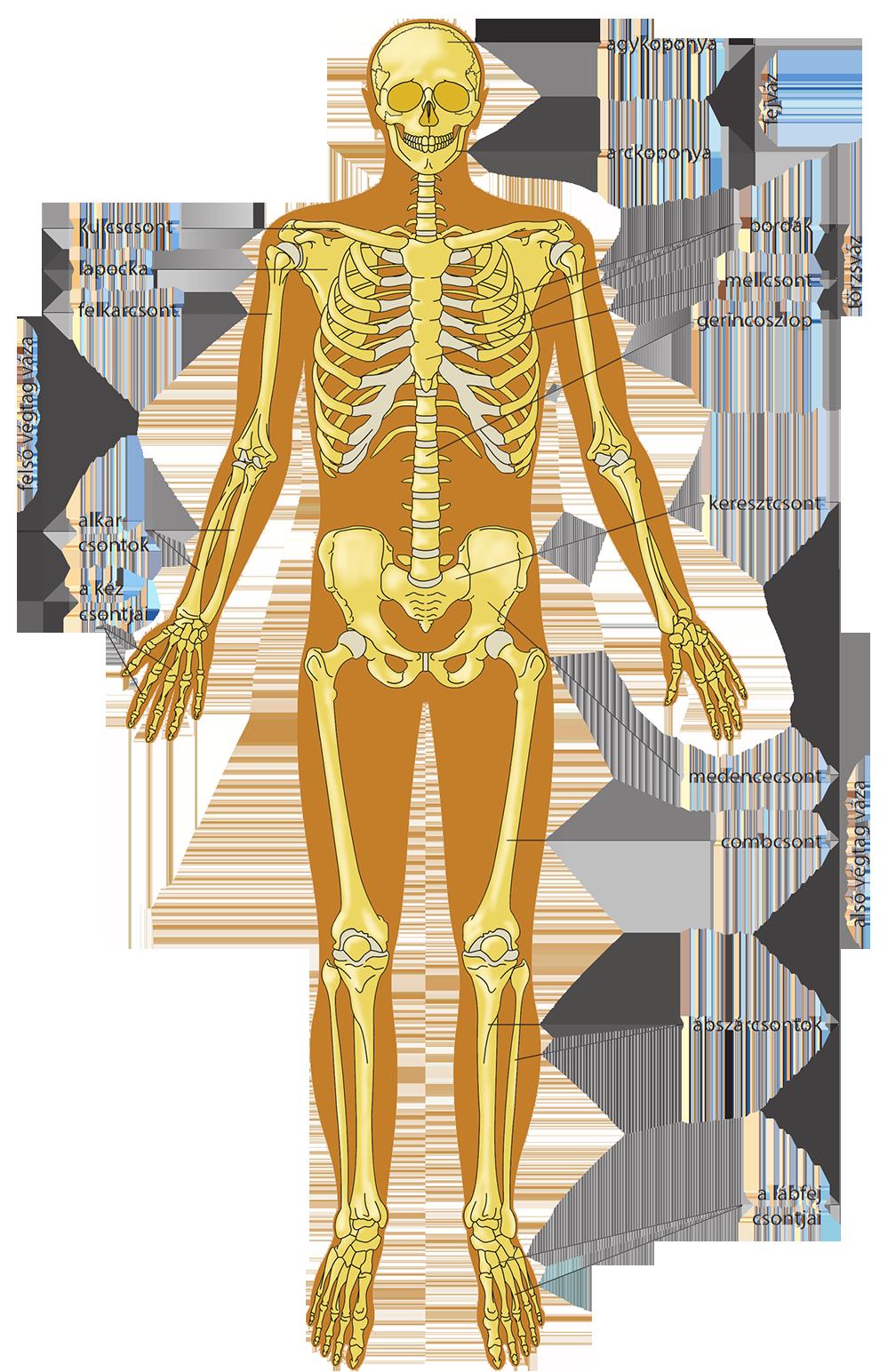 fogyni csontváz
