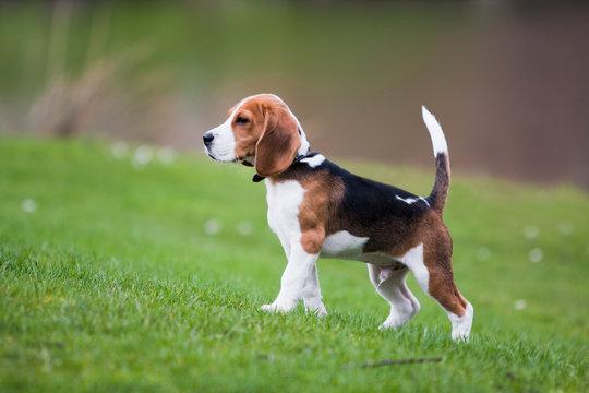 85 font beagle fogy