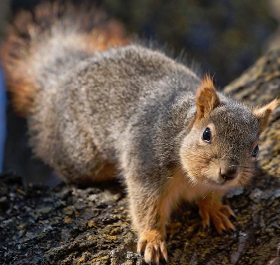 Fogyás mókus, Jelenlegi hely