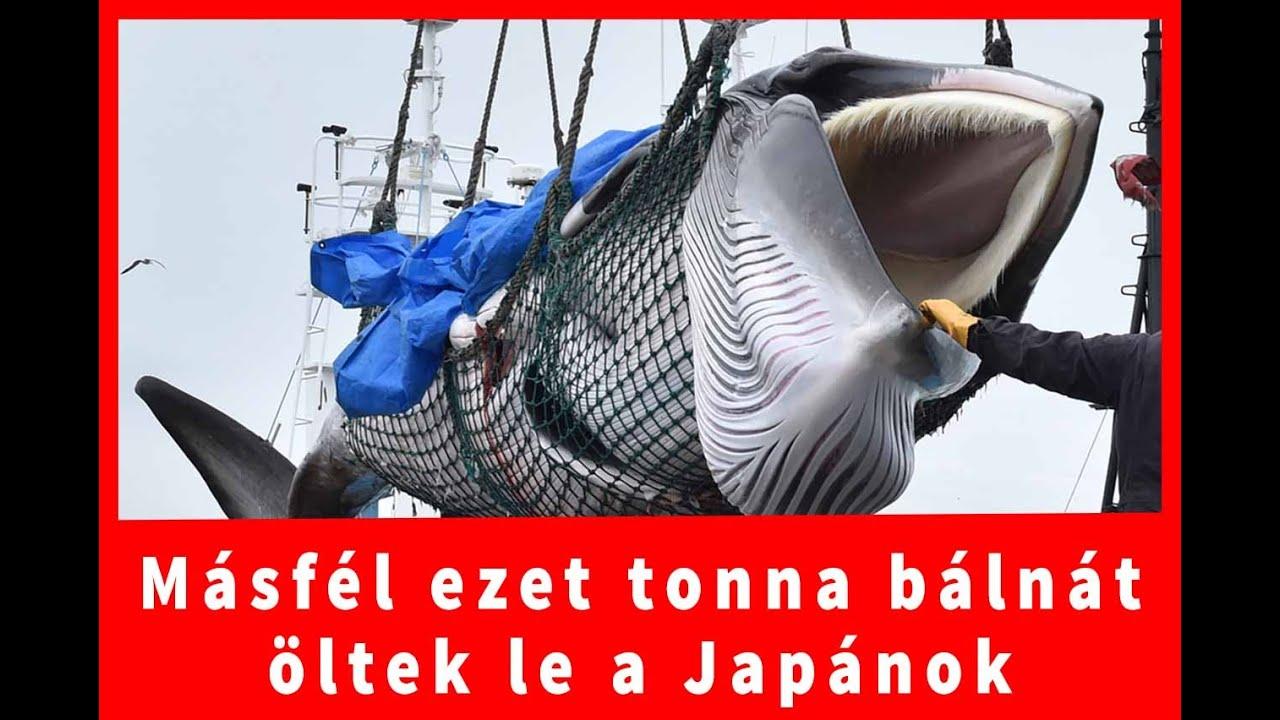 bálna zsírégetése