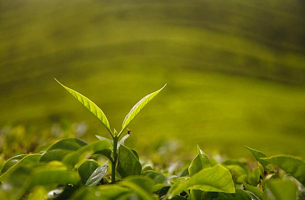 zsírégető tea a legjobb hogyan lehet lefogyni az állkapocsról