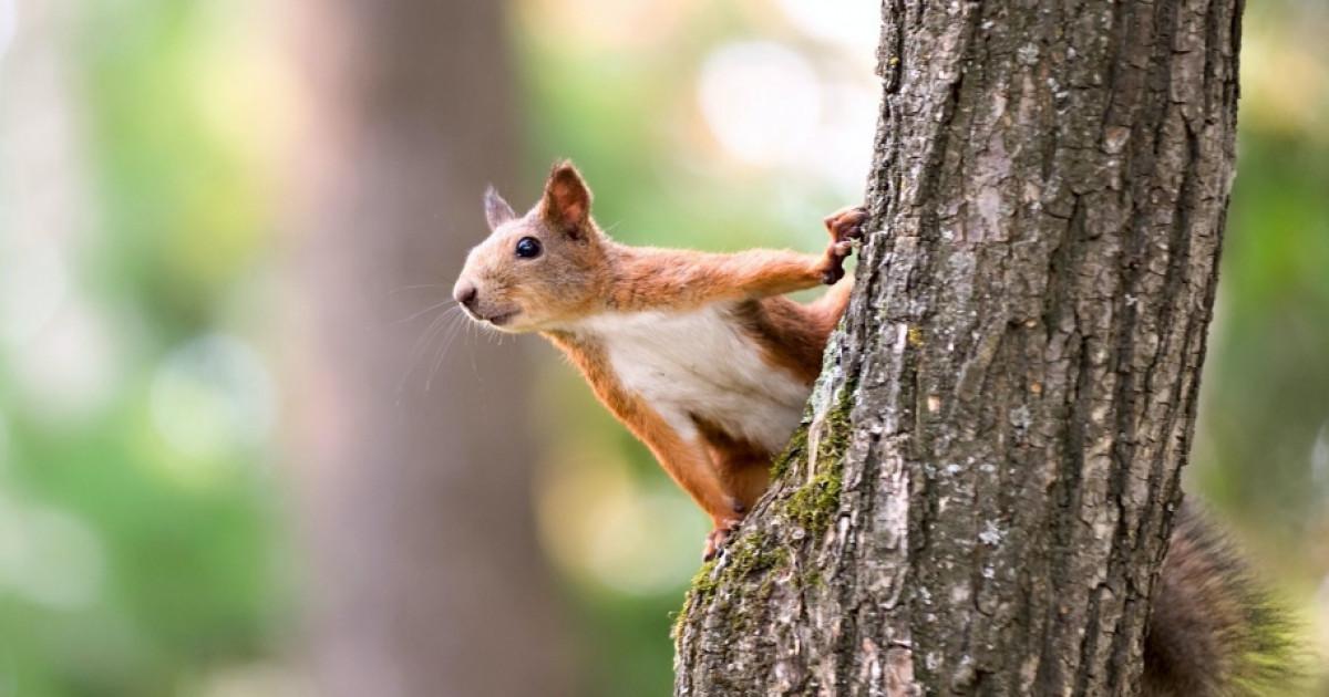 fogyókúrás mókus