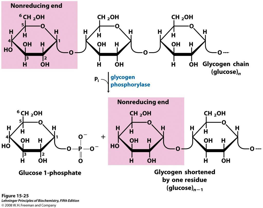 A glükóz és a glikogén közötti különbség